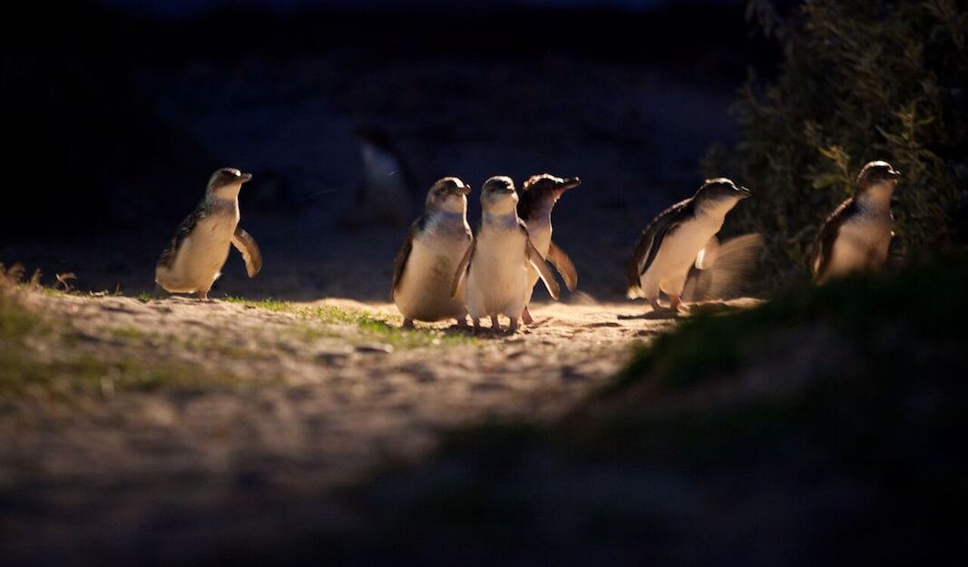 Penguin Parade_1 (1)